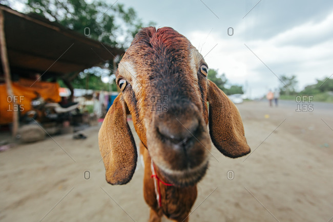 Portrait of a goat at a small town of Sewagram in Wardha, Maharasthra, India
