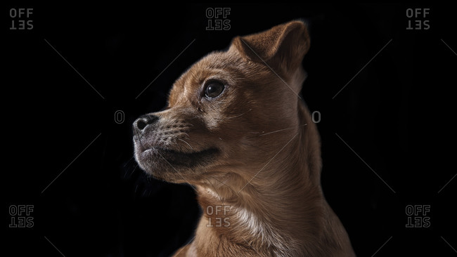 Close up of a dog in studio