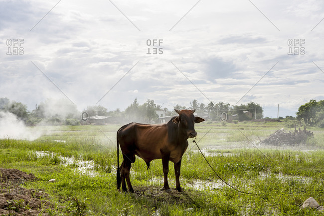 Cow standing on field