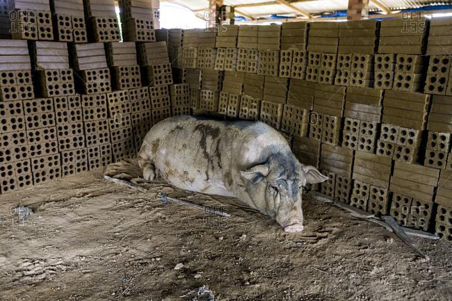 Pig lying in a pigpen