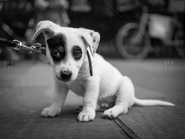 Close up of a puppy on a leash