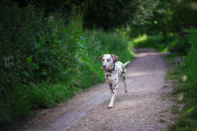 Brown-spotted dalmatian dog running on a path