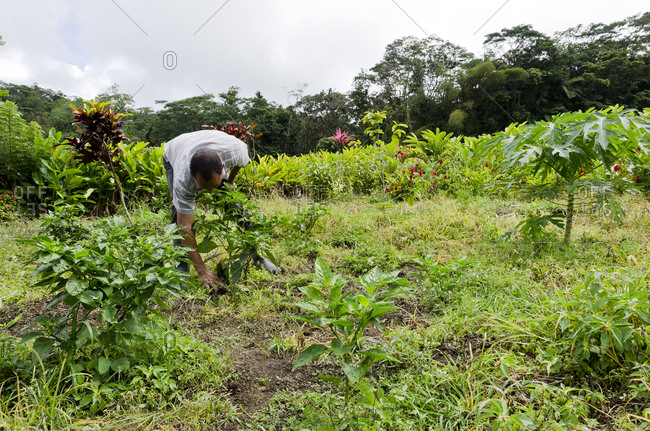 A farmer picking peppers in field in Martinique