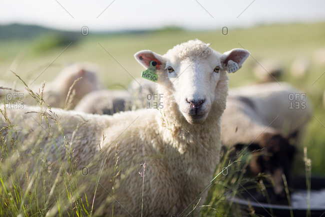 A sheep with ear tags near with flock