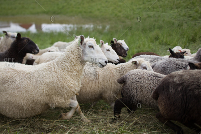 A flock of sheep running in a field