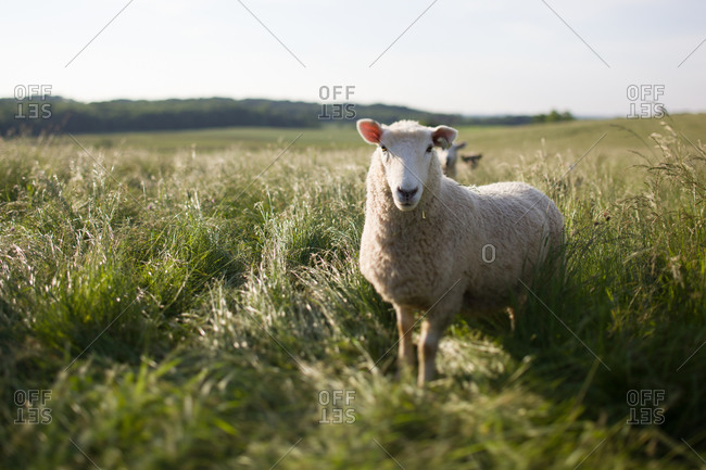 A sheep standing near flock in tall grass