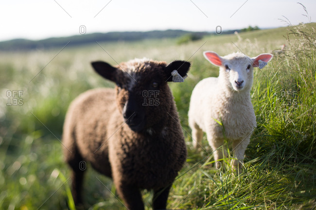 Black and white baby sheep in field