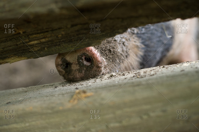 Pig's snout in crack of wood fence
