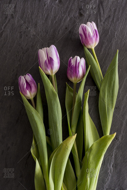 Studio shot of purple & white tulips