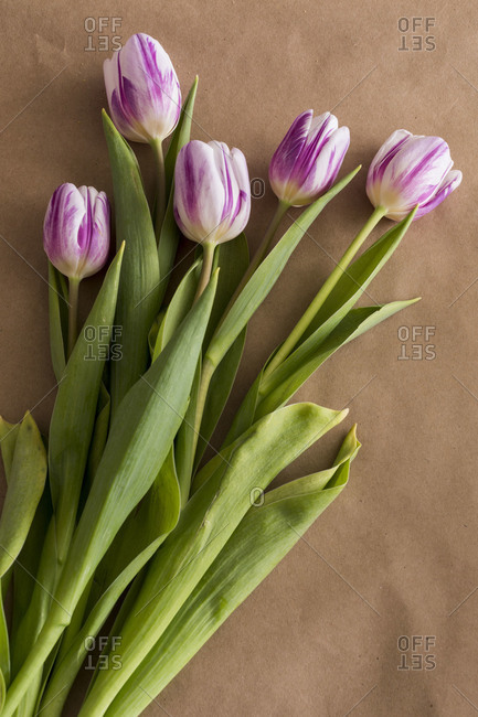 Studio shot of purple & white tulips in bloom