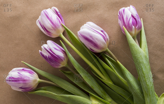 Purple & white tulips in bloom