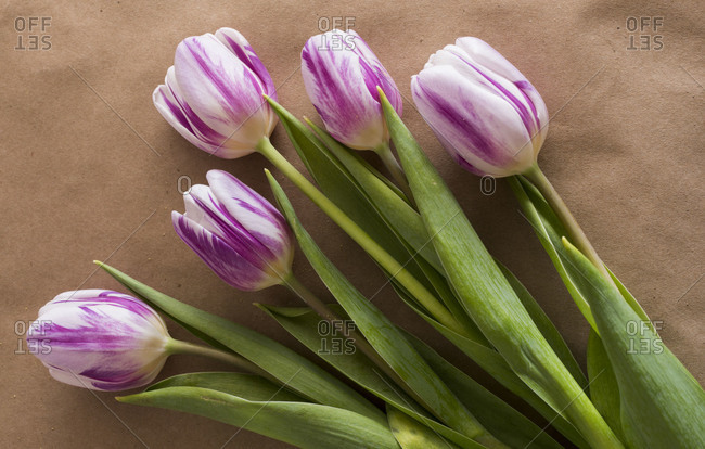 Studio shot of four purple & white tulips
