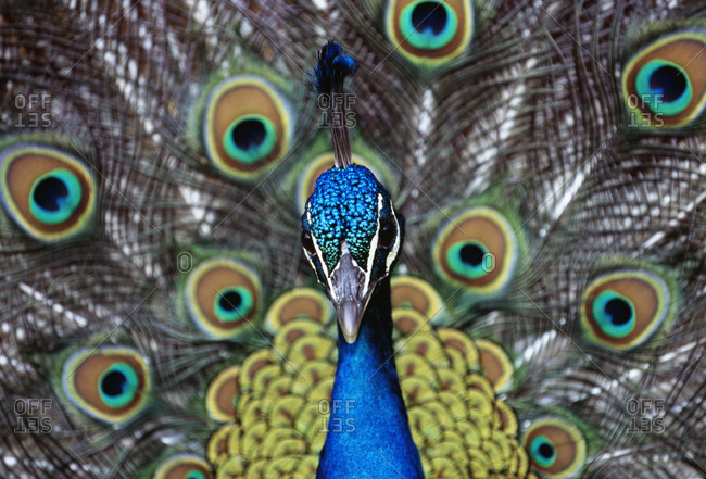 Peacock displaying colorful plumage