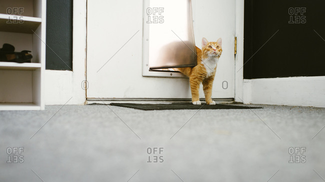Orange cat coming in through the cat flap