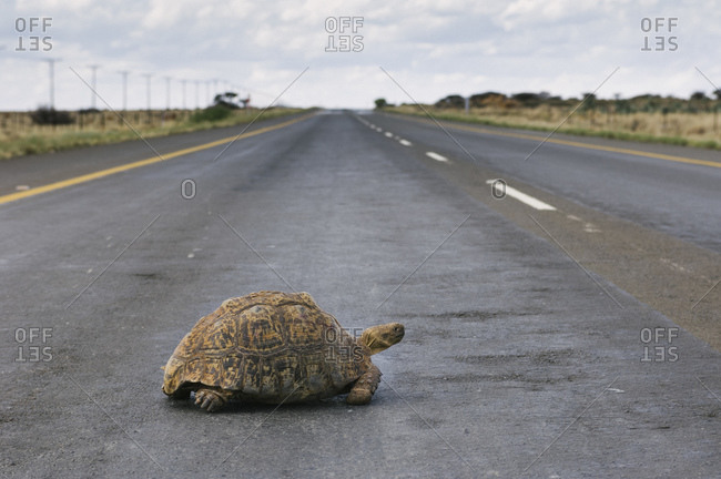 A tortoise crosses a road