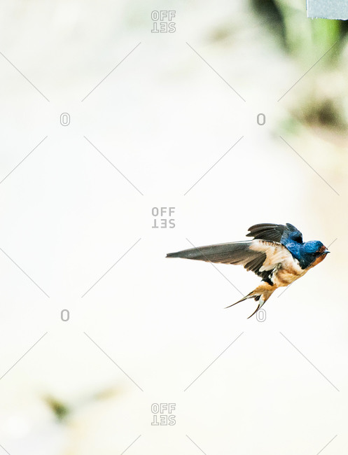 View of a flying blue sparrow