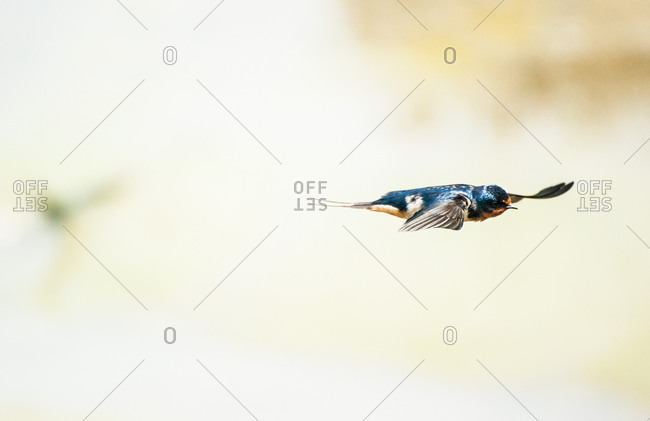 Portrait of a flying blue sparrow