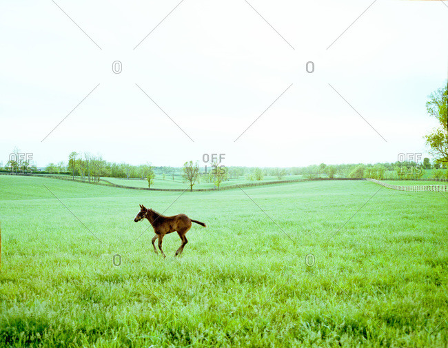 Young foal galloping on a grassy field in Kentucky