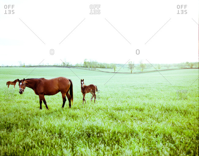 Young colts in a field of bluegrass in Kentucky