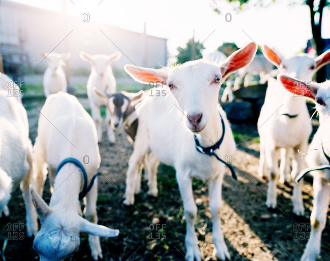 Herd of goats at a dairy farm