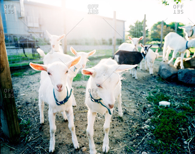 Goats in a dairy farm