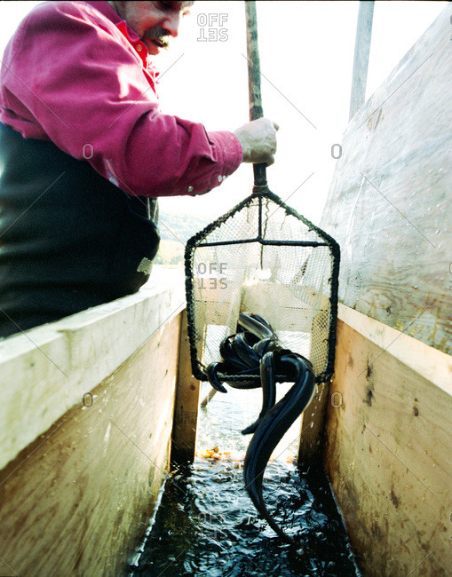Pond Eddy, New York - February 24, 2012: Man pulling out eels from the trap