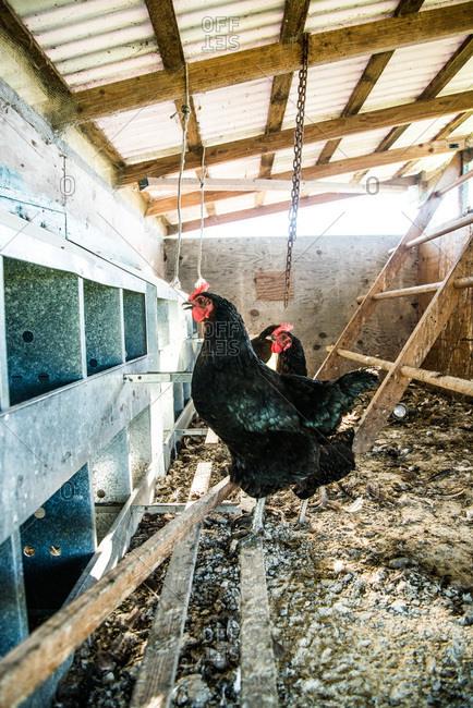 Hens in a chicken coop