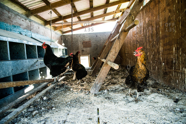 Rooster and hens in a chicken coop