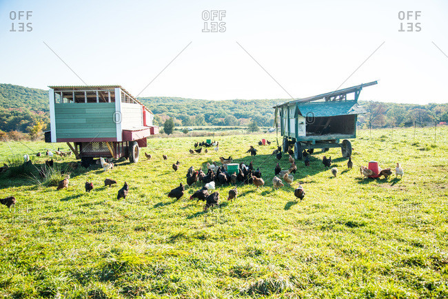 Free-range chickens in a farm in Cold Springs, New York