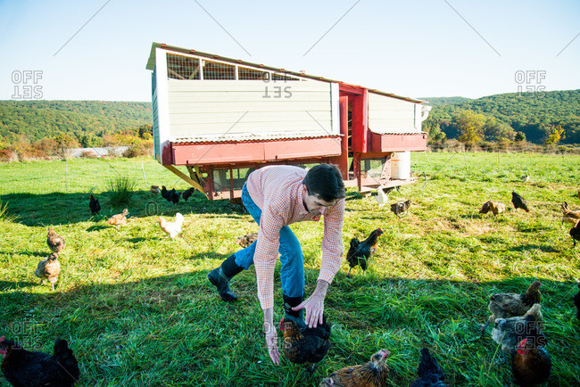 Cold Spring, NY - March 4, 2000: Man grabbing a hen in a farm