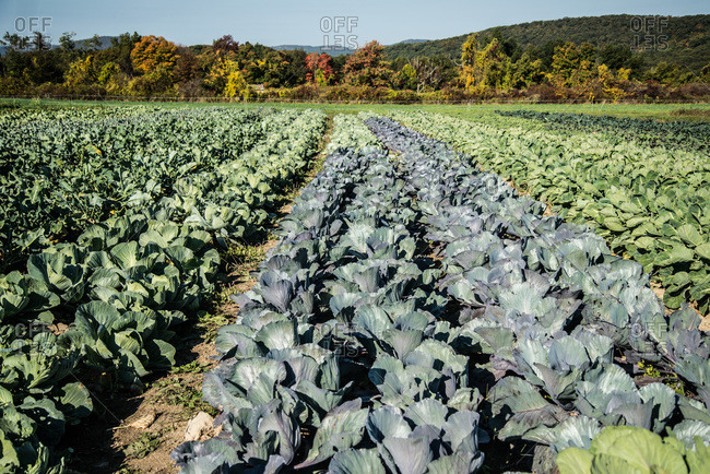 Cabbages in organic farm