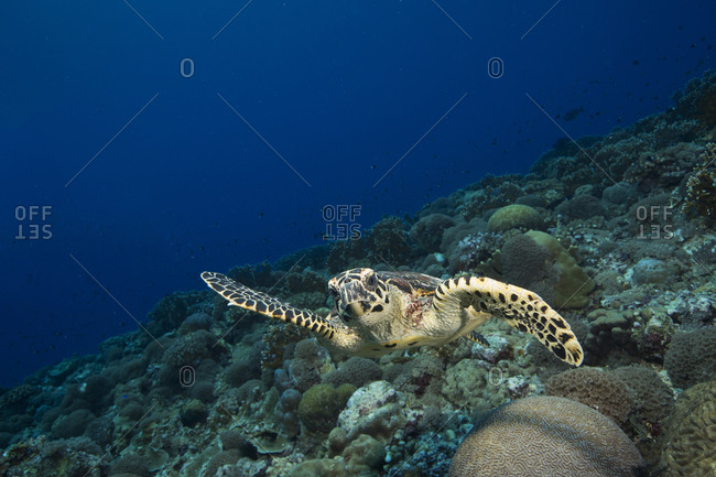 Inquisitive Hawksbill turtle