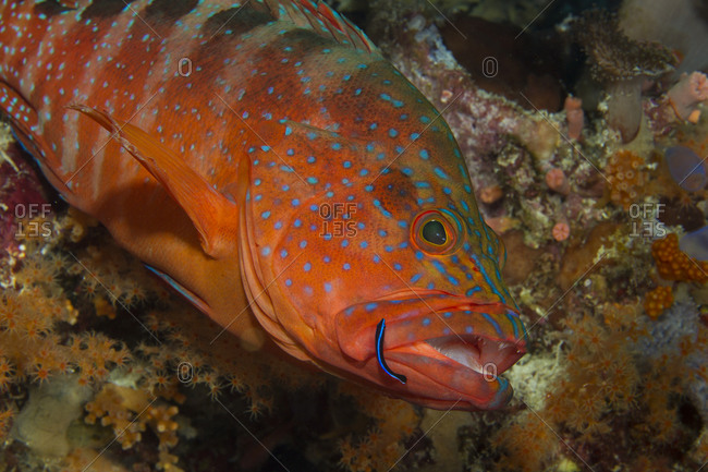 Behavior of a Neon goby cleaning debris and parasites from a Coral grouper
