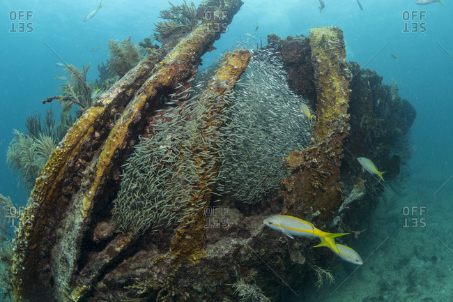 A shoal of Silversides fills the interior of the Benwood wreck, Key Largo