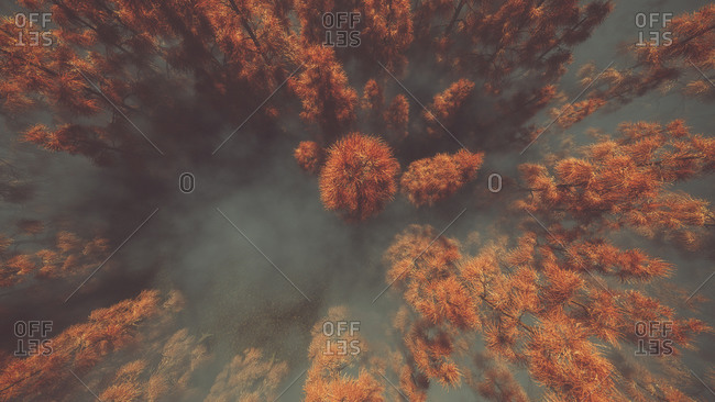 Aerial of orange autumn forest in the mist