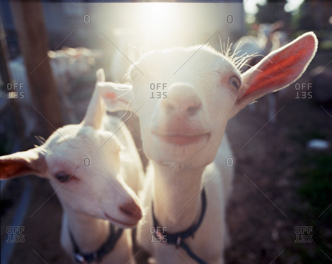 Billy goats at a dairy farm