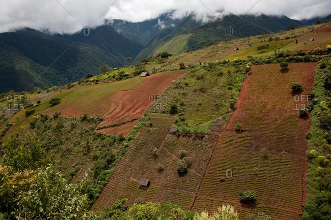 Coca plantation in Coroico, Bolivia