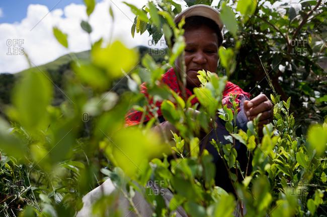 Coroico, Bolivia -  March, 1 2010: Woman harvesting coca leaves