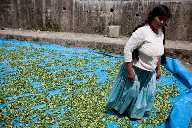 Coroico, Bolivia - February 22, 2010: Woman dries coca leafs