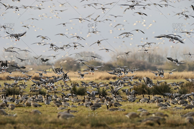 A flock of Pink-footed Geese take off in flight