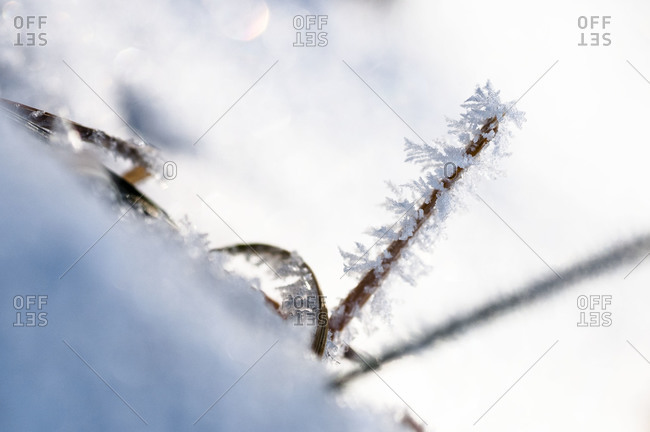 Dead grass poking out of snow with frost