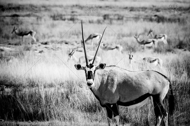 Oryx and springbok in Etosha National Park, Namibia