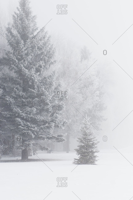 Pine trees obscured by winter fog in North Dakota