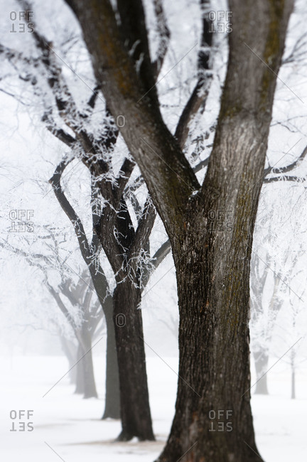 Line of trees covered in hoar frost
