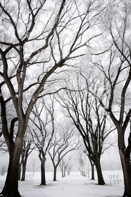 Hoar frost on grove of trees in winter