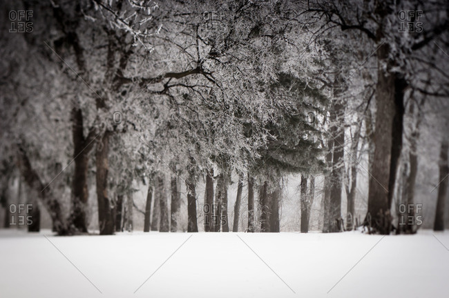 Forest of trees in winter fog and snow