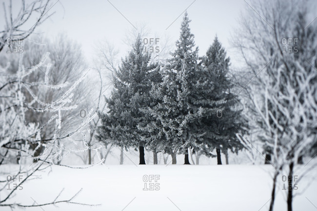 Evergreen trees in a clearing in winter