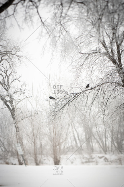 Crows sitting on tree in fog and snow