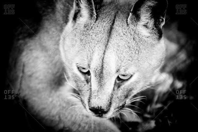 Portrait of a caracal lynx