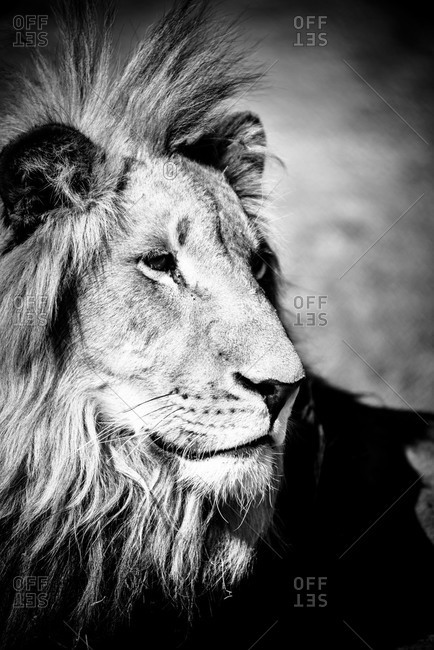 A male lion in black and white